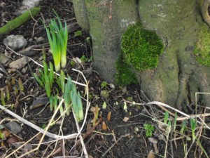 Daffodil bulbs rejuvenating in our front garden