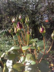 red rose buds in November
